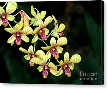 Yellow Orchid Cascade Canvas Print by Sabrina L Ryan