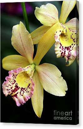 Yellow Orchid Duo Canvas Print by Sabrina L Ryan
