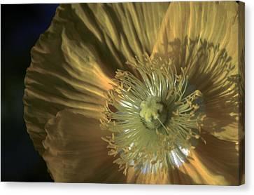Yellow Poppy Shine Canvas Print