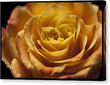 Yellow Rose Bud Canvas Print by Zoe Ferrie