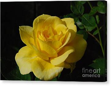 Yellow Rose Close Up Canvas Print by Mark McReynolds