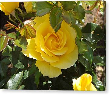 Yellow Rose Of California Canvas Print by James Hammen