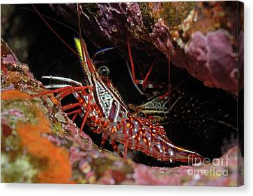 Yellow Snout Red Shrimp Canvas Print by Sami Sarkis