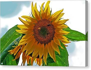 Yellow Sunflower Canvas Print by Susan Leggett