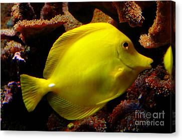 Yellow Tang Canvas Print by Pravine Chester