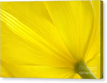 Yellow Tulip Canvas Print by Sharon Talson