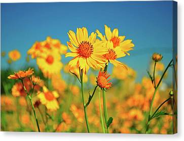 Yellow Wildflowers Canvas Print by Sandy L. Kirkner