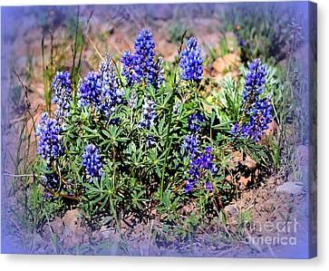 Yellowstone Lupine Blue Canvas Print by Carol Groenen