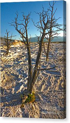 Yellowstone National Park - Minerva Terrace - Dead Tree Canvas Print by Gregory Dyer