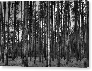 Yellowstone Trees Bw Canvas Print by Bruce Friedman