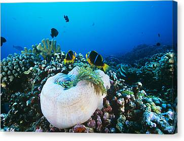 Yellowtail Anemonefish By Their Anemone Canvas Print by Alexis Rosenfeld
