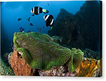 Yellowtail Clownfish (amphiprion Clarkii) And Anemone Tulamben Bay, Bali, Indonesia, Southeast Asia Canvas Print by Mark Webster