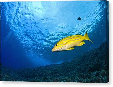 Yellowtail Snapper, Molokini Crater Canvas Print by Stuart Westmorland