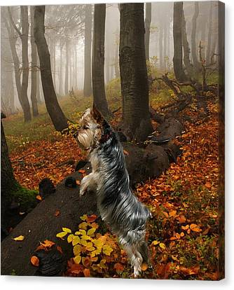 Yorkie On The Hunt Canvas Print by Rick Friedle