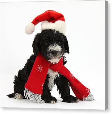 Yorkipoo Pup Wearing Christmas Hat Canvas Print by Mark Taylor