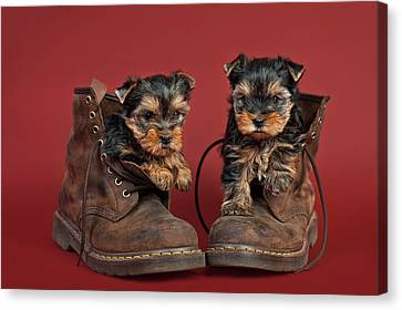 Yorkshire Terrier Puppies  Canvas Print by Marta Holka