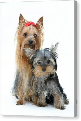 Yorkshire Terriers Canvas Print by Jane Burton