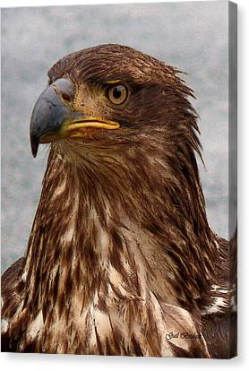 Young Bald Eagle Portrait Canvas Print