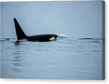 Young Bay Orca Canvas Print by Josh Whalen