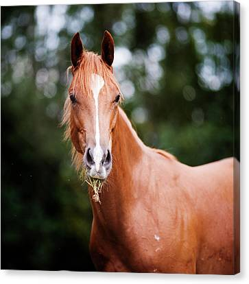 Young Brown Quarter Horse Canvas Print by Jorja M. Vornheder