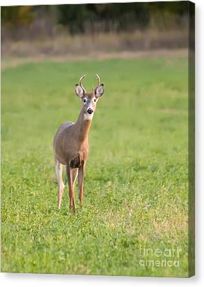 Young Buck Canvas Print by Art Whitton