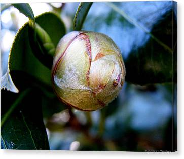 Young Camellia Canvas Print