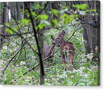 Young Deer In Flossmoor Forest Canvas Print by Cedric Hampton