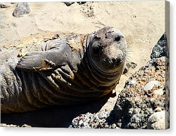 Young Elephant Seal Molting . 7d16091 Canvas Print by Wingsdomain Art and Photography
