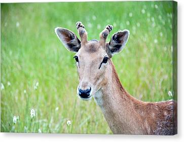 Young Fawn, Red Fallow Deer Buck Canvas Print