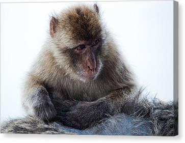 Young Gibraltar Macaque Canvas Print by Marc Garrido