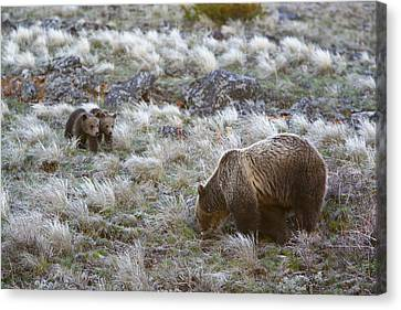 Young Grizzly Cubs Play As Their Mother Canvas Print by Drew Rush