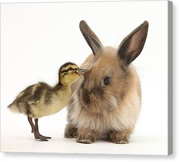 Young Lionhead-lop Rabbit And Mallard Canvas Print by Mark Taylor