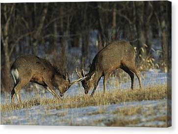 Young Male Sika Deer Practice Sparring Canvas Print by Tim Laman