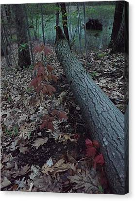 Young Maple At The Swamp Canvas Print by Gerald Strine
