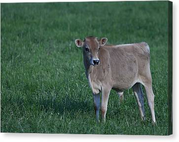 Canvas Print featuring the photograph Young Moo by John Crothers