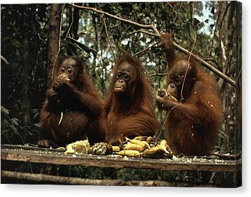 Young Orangutans Eat Together Canvas Print by Rodney Brindamour