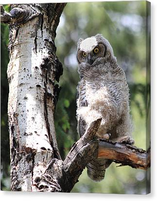 Young Owl Canvas Print by Shane Bechler