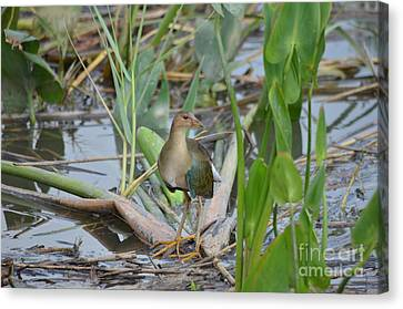 Young Purple Gallinule Canvas Print by Kathy Gibbons