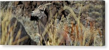 Young Ram Canvas Print by Atom Crawford