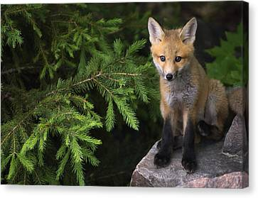 Young Red Fox On A Rock With Evergreen Canvas Print by Mike Grandmailson