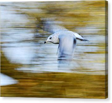 young Ring-billed Gull Canvas Print