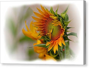 Young Sunburst Canvas Print by John  Kolenberg