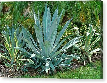 Yucca Plants Canvas Print