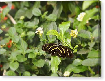 Canvas Print featuring the photograph Zebra Butterfly by Marianne Campolongo