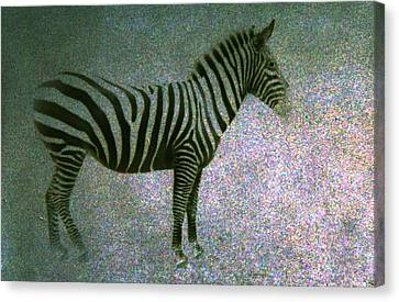 Zebra Canvas Print by Kelly Hazel