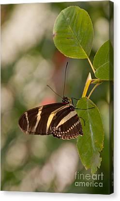 Zebra Longwing Butterfly Canvas Print by Dejan Jovanovic