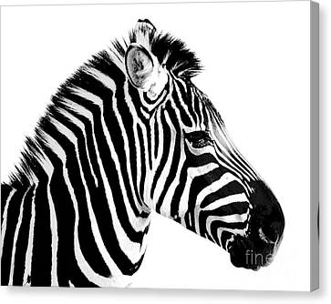 Canvas Print featuring the photograph Zebra by Rebecca Margraf