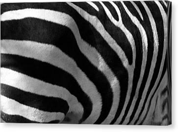 Zebra Stripes Canvas Print by Cindy Haggerty