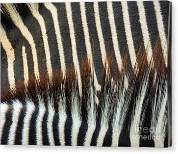 Zebra Stripes Canvas Print by Methune Hively