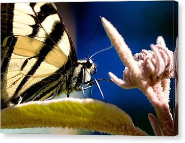 Canvas Print featuring the photograph Zebra Swallowtail by Scott Holmes